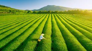 faire pousser du thé