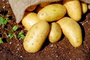 cultiver ses propres pommes de terre